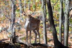 Fallow Deer (Dama dama). Picture of a beautiful Fallow Deer (Dama dama) in a colorful forest Royalty Free Stock Photography