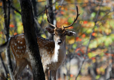 Fallow Deer (Dama dama). Picture of a beautiful Fallow Deer (Dama dama) in a colorful forest stock images
