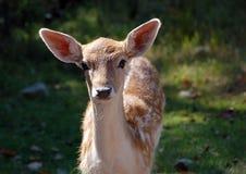 Fallow Deer (Dama dama). Picture of a beautiful Fallow Deer (Dama dama) in a colorful forest Stock Image