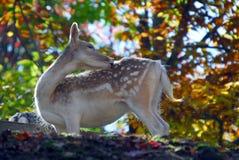 Fallow Deer (Dama dama). Picture of a beautiful Fallow Deer (Dama dama) in a colorful forest Stock Photography