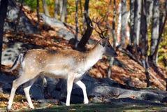 Fallow Deer (Dama dama). Picture of a beautiful Fallow Deer (Dama dama) in a colorful forest Stock Photo