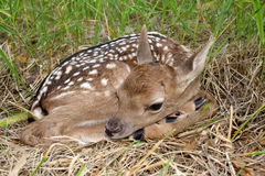 Fallow deer ( Dama dama ) Royalty Free Stock Photo