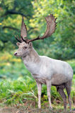 Fallow Deer (dama Dama) Royalty Free Stock Image