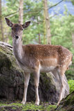 The Fallow Deer (Dama dama). Fallow Deer female, in the woods near a stone, Switzerland Stock Images