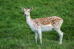 Fallow Deer Dama dama Stock Photography