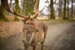 Fallow deer - Dama dama, alone in park Royalty Free Stock Images