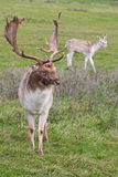 Fallow deer Dama dama buck. Fallow deer Dama dama buck and doe behind royalty free stock photos