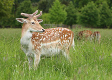 Fallow Deer. (Dama dama) pauses in its grazing to look about Stock Image