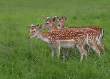 Group of three Fallow Deer. Three fallow deer (Dama dama) walk across the meadow as they graze Royalty Free Stock Photos