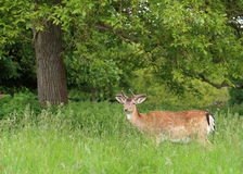 Fallow Deer under tree cover. Fallow deer (Dama dama) stood near the safety of the trees at the edge of the meadow Royalty Free Stock Images