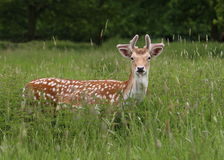 Fallow Deer in field. Fallow deer (Dama dama) on the look out Royalty Free Stock Images