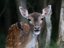 Fallow Deer (Dama Dama) Stock Photography