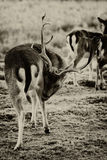 Fallow deer - Dama dama - Coat Care Royalty Free Stock Photo