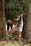 Fallow deer, dama dama, Czech republic. Deer, antler, fores, wild royalty free stock photo