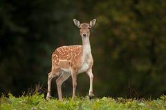 Fallow deer, dama dama, Czech republic. Deer, female,meadow,wild,wildlife Stock Photography