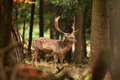 Fallow deer, dama dama, Czech republic. Deer, rutting, wild.antler, trophy royalty free stock photography