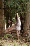 Fallow deer, dama dama, Czech republic. Rut, rutting, deer, wild, forest Stock Images