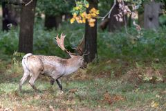 Fallow Deer Dama dama stag. Fallow Deer Dama dama in the shade of trees royalty free stock photo