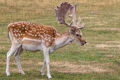 Fallow deer Dama dama. Feeding in the meadow stock photos