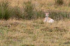 Fallow deer Dama dama. Feeding in the meadow royalty free stock photos