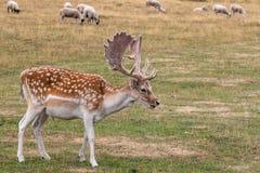 Fallow deer Dama dama. Feeding in the meadow royalty free stock image