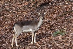 Fallow deer Dama dama Royalty Free Stock Photography