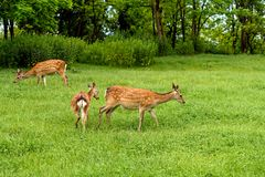 Fallow deer Dama dama. In a spring forest royalty free stock photography
