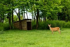 Fallow deer Dama dama. In a spring forest royalty free stock image
