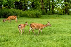 Fallow deer Dama dama. In a spring forest stock photos