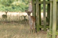 Fallow Deer Dama dama fawn. Taken in UK stock photography