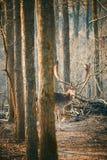 Fallow deer Dama Dama. Fallow deer in the forest stock photo