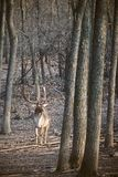 Fallow deer Dama Dama. Fallow deer in the forest stock photography