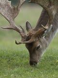 Fallow deer Dama dama. Fallow deer in its natural habitat in Denmark royalty free stock photography