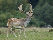 Fallow deer Dama dama. Fallow deer in its natural habitat in Denmark stock images