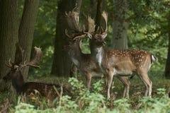 Fallow deer Dama dama. Fallow deer in its natural habitat in Denmark royalty free stock image