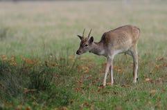 Fallow deer dama dama. Fallow deer  walk on the meadow, autumn, dama dama Stock Images