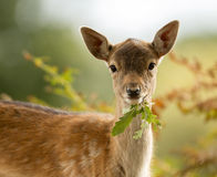 Fallow deer (Dama dama) fawn Stock Photos