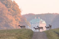 Fallow Deer, Dama dama, females and fawns crossing the dirt road in Dyrehave, Denmark. The Hermitage Palace out of focus