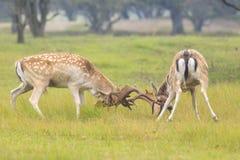 Fallow deer, Dama Dama, fighting during rutting season. Two large Fallow Deer stags, Dama Dama, fighting during rutting season on a green natural meadow stock photography