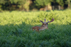 Fallow Deer (Dama dama) Royalty Free Stock Photo