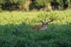 Fallow Deer (Dama dama) royalty free stock photo