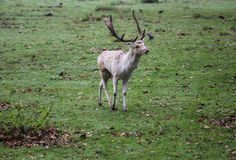 Fallow deer, Dama dama, in forest stock photo