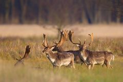 Fallow Deer Dama dama. A group of Fallow Deer Dama dama on a meadow in the nature reserve Moenchbruch near Frankfurt, Germany royalty free stock images