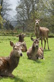 Fallow Deer - Dama dama Royalty Free Stock Photography