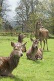 Fallow Deer - Dama dama Royalty Free Stock Photos