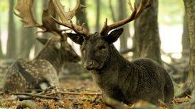 Fallow deer (Dama dama) lying down Stock Photography