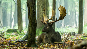 Fallow deer (Dama dama) lying down Stock Images