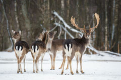 Fallow Deer, Dama dama, majestic adult animal in winter forest, Belarus. Small herd of fallow deers  Dama dama .A group of Fallo Royalty Free Stock Photo