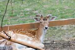 Fallow Deer (Dama dama). Male Royalty Free Stock Photography