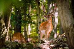 Fallow Deer - Dama dama. Male (Buck Royalty Free Stock Images